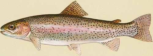 Cá hồi Chinook