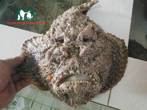 cá mú mặt quỷ