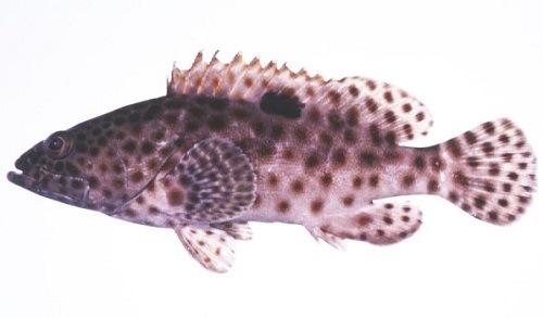 Cá mú mỡ
