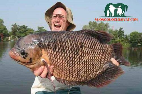 cá phát tài giá bao nhiêu