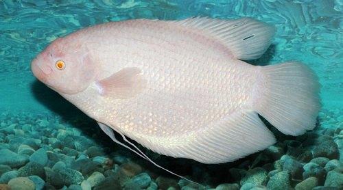 Cá tai tượng trắng: