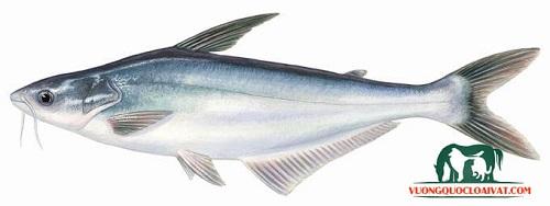 cá tra là gì