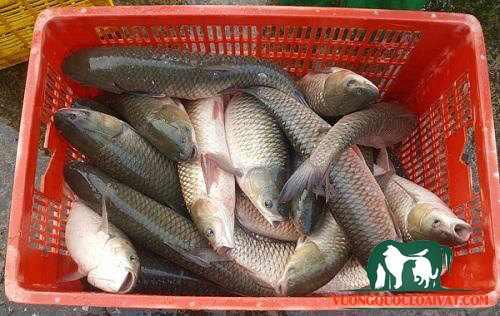 cá trắm cỏ bao nhiêu tiền 1kg