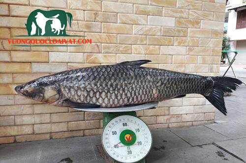 cá trắm đen bao nhiêu tiền 1kg
