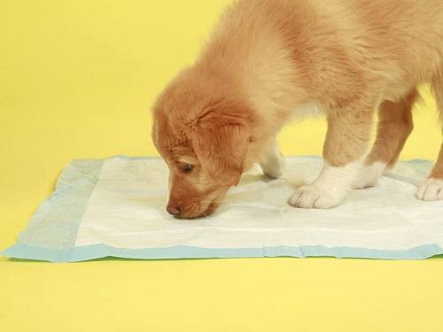 cách dạy chó đi vệ sinh