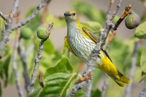 kinh nghiệm nuôi chim vàng anh