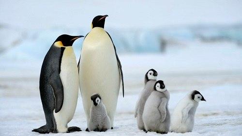 Chim cánh cụt di cư