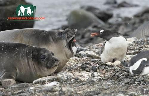 chim cánh cụt ở đâu
