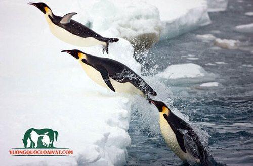 chim cánh cụt nhảy