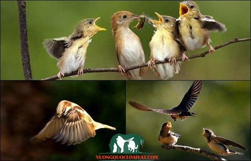 chim sẻ kêu