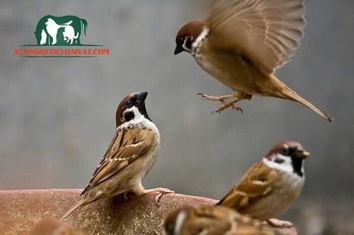 chim sẻ ban mai