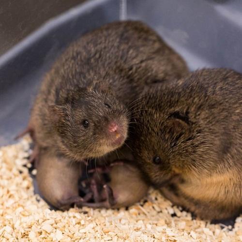 Hướng dẫn làm ổ nuôi chuột đồng