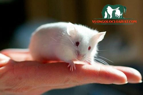 chuột bạch bao nhiêu tiền