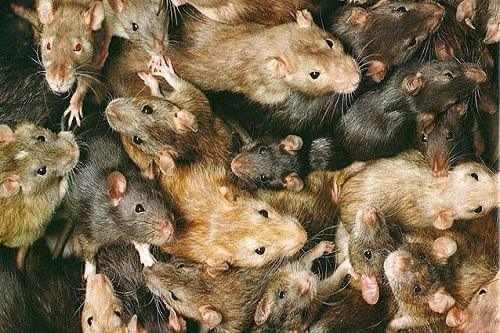 chuột cống nhum là gì