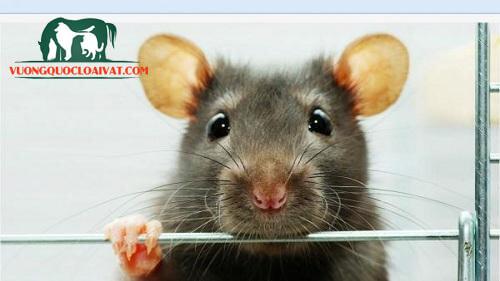 chuột cống thích ăn gì nhất