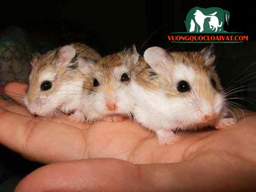 nơi bán chuột hamster ở tphcm