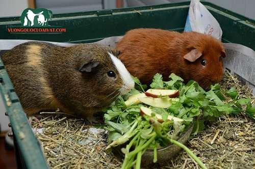 chuột lang ăn gì
