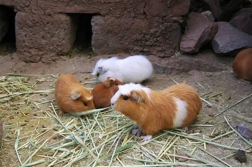Chuột lang Peru