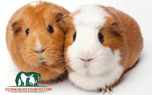 chuột lang và hamster