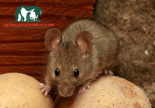 cách diệt chuột nhắt trong nhà
