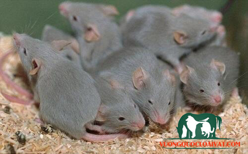 chuột con mới đẻ