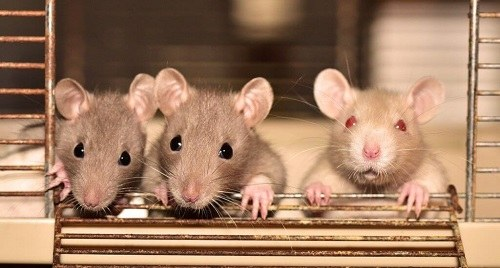 đặc điểm chuột nhắt