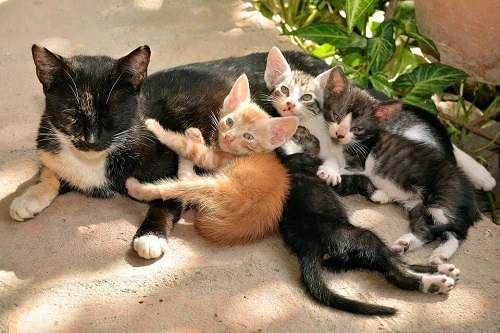 dấu hiệu mèo có thai
