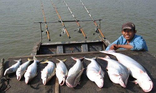 giá bán cá bông lau