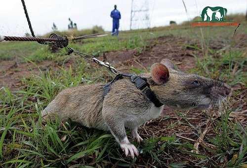 huấn luyện chuột đồng