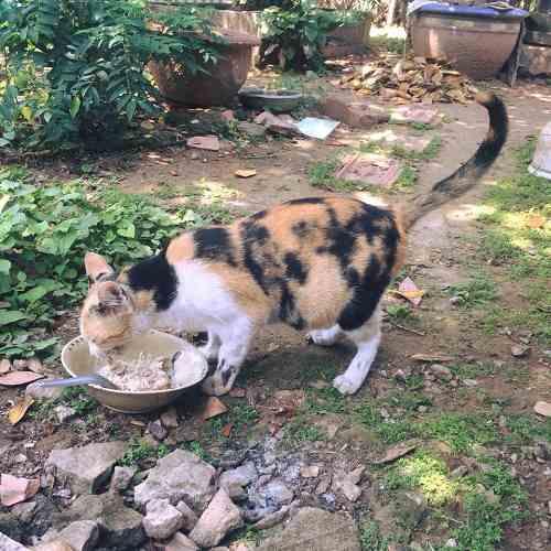 mèo có bầu