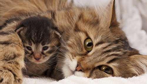Mỗi lứa mèo sinh ra bao nhiêu con