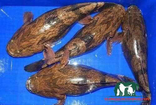 cá bống tượng bao nhiêu 1kg