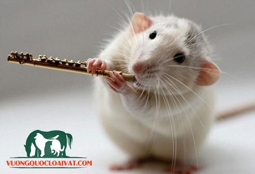 chuột bạch ăn gì
