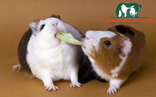 mua chuột hamster