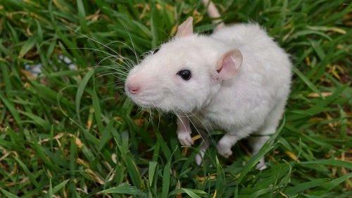 nuôi chuột bạch có đuổi được chuột nhà không