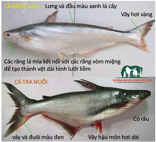 phân biệt cá bông lau sông