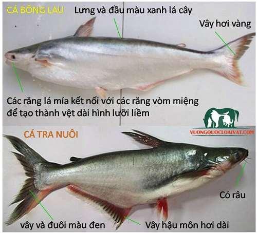 cá tra sông và cá basa