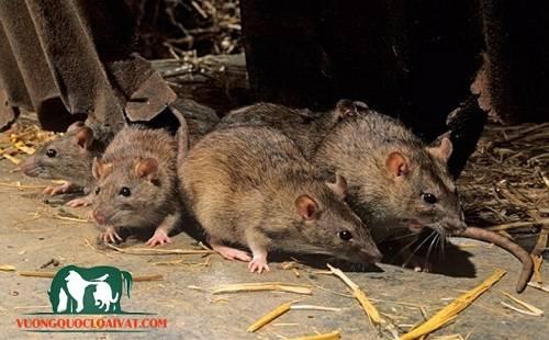 chuột đồng miền tây