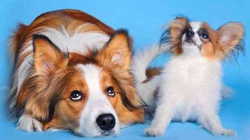 Tính tuổi chó thông qua bộ lông