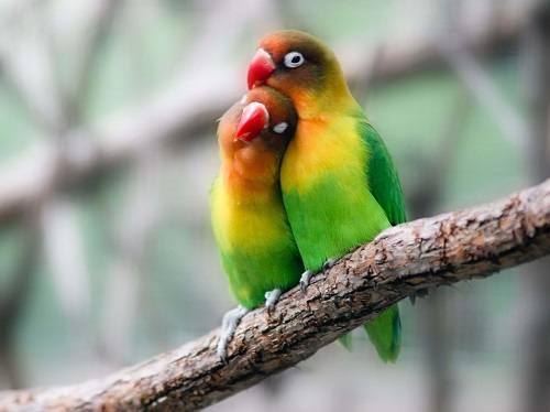 Vẹt lovebird