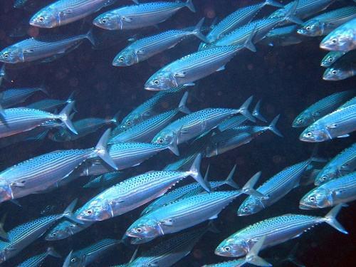 cá bạc má