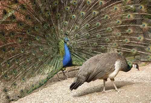 chim công ấn độ