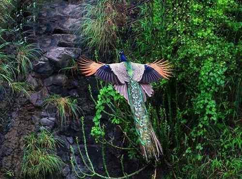 chim công xanh