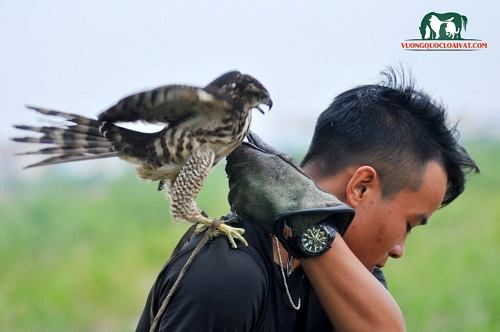 mua chim ưng ở đâu