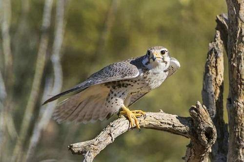 Sinh sản ở chim ưng