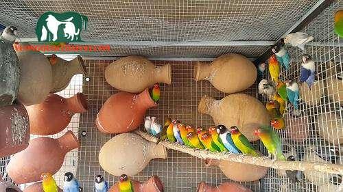 nuôi chim yến phụng sinh sản