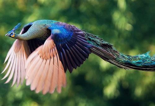 chim công xanh múa