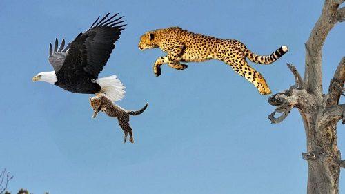 Đại bàng săn mồi như thế nào