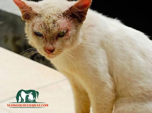 mèo bị viêm da