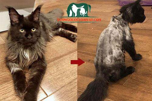 mèo bị ghẻ